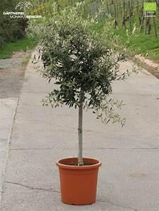 Olivenbaum Im Topf : olivenb umchen in bio qualit t verschiedene sorten ~ Michelbontemps.com Haus und Dekorationen