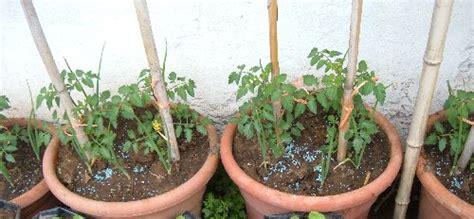 coltivare pomodori  vaso quali le dimensioni minime