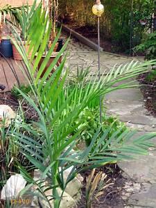 überwintern Von Palmen : palmen und co man wird vorsichtiger ~ Michelbontemps.com Haus und Dekorationen