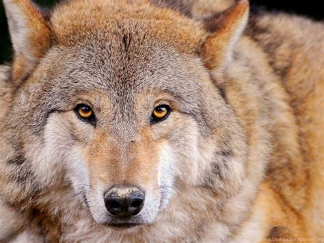 1080p Wolf Wallpaper Hd For Mobile by Hd 1080p Wolf Wallpapers Hd Desktop Backgrounds