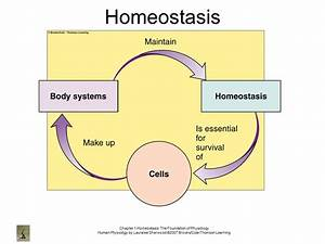 Homeostasis  The Foundation Of Physiology
