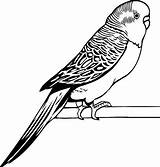 Parakeet Coloring Drawings Drawing Awesome Bird Outline Parrot Simple Template Coloringsun Sketch Cool Colors Printablecolouringpages Larger Credit sketch template