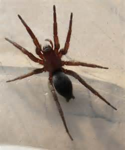 Red and Brown Spider
