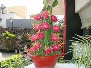 The 25+ best ideas about Dragon Fruit Tree on Pinterest ...