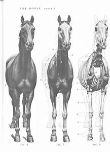 17 Best Images About Horse Anatomy On Pinterest
