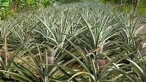 Plant D Ananas : growing pineapple plants at home ~ Melissatoandfro.com Idées de Décoration