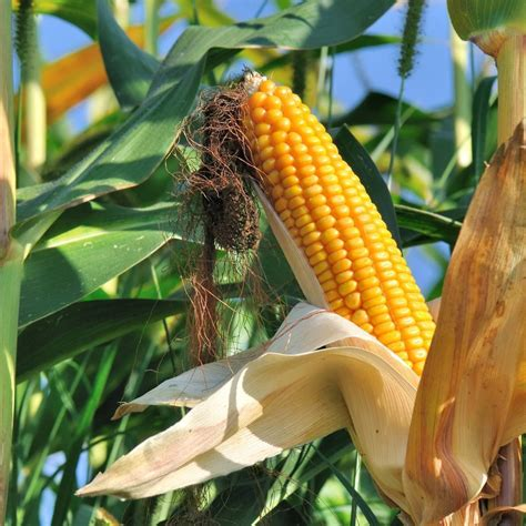 Corn, Maize- Early Leaming seeds | The Seed Collection