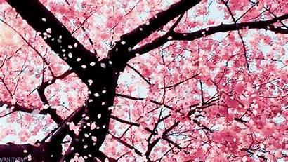 Cherry Bloom Blossoms Benguet Church Prettier Prove