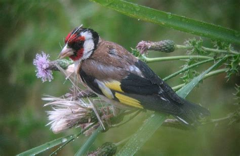 goldfinch eating thistle seeds flickr photo sharing