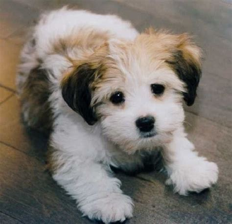 25 best ideas about cutest small dog breeds on pinterest