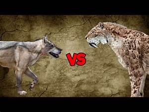 Dire Wolf Pack vs Saber-Toothed Tiger - YouTube