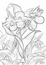 Slipper Coloring Pink Lady Flower Ladys Orchid Pages Cypripedium Drawing Printable Vanilla Grease Ladies Calceolus Reginae Sketch Template Skip Games sketch template