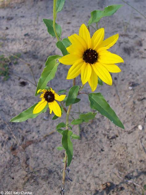 helianthus petiolaris prairie sunflower minnesota wildflowers