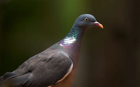 awesome beautiful wallpapers  pigeon  hd