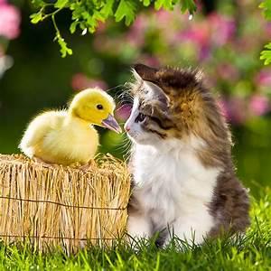 duckling - Animal Stock Photos - Kimballstock