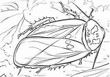 Cockroach Coloring sketch template