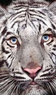 White tiger - Animals Wallpaper (28798484) - Fanpop