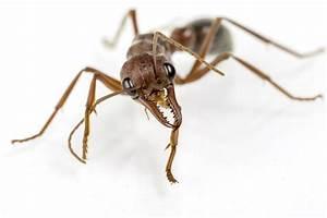 Ameisen In Der Wand : ameisen richtig bek mpfen ~ Frokenaadalensverden.com Haus und Dekorationen