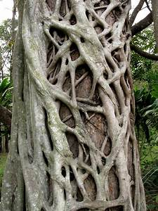 Strangler Fig and Sucker Branches