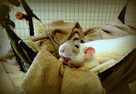 Pet Rat Hammocks by Pet Rat Hammock About Pet Rats