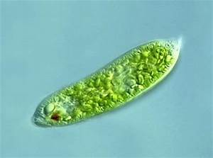 Plant Life: Euglenoids