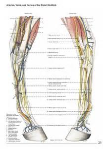 Horse Hind Limb Muscle Anatomy
