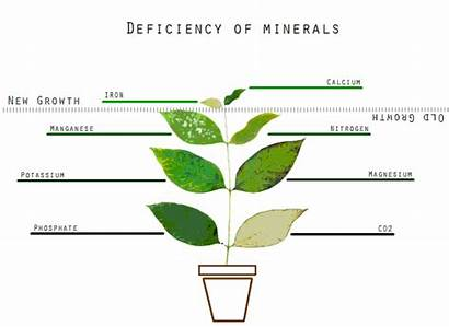 Minerals Deficiency Photosynthesis