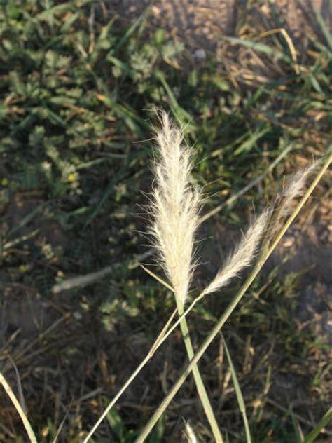 silver beardgrass