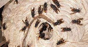 Piege A Frelon : pi ge frelons gu pes et mouches lutter contre le ~ Farleysfitness.com Idées de Décoration