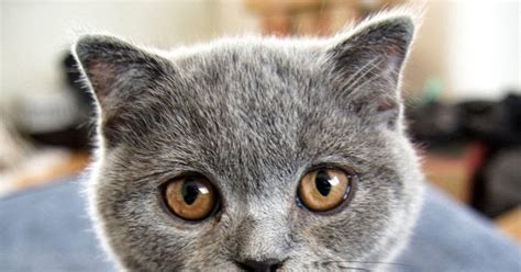 how much does a scottish fold kitten cost many