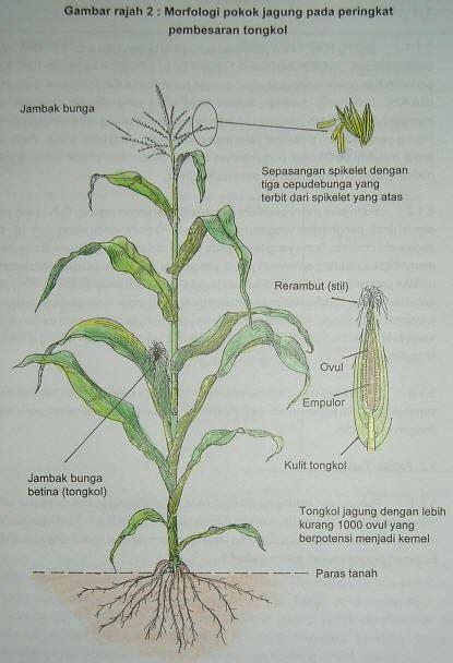 morfologi batang  daun  tanaman jagung