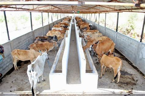 Dairy Cow Shed Design - dairy farming images for cattle shed