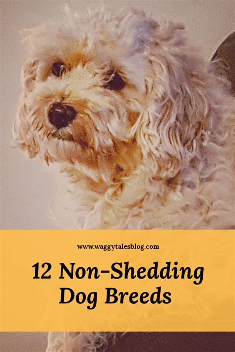 Reducing Shedding In Dogs by 12 Breeds That Don T Shed And How To Reduce Shedding