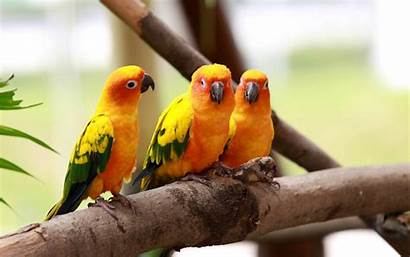 Birds Wallpapers Backgrounds Desktop Bird Parakeets Parrots
