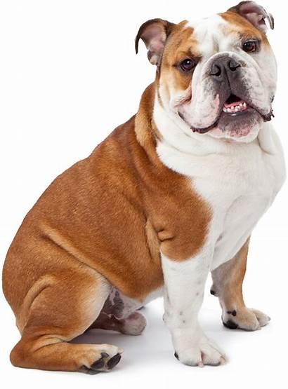 Dog Bulldog English Dogs Business Training Phenergan