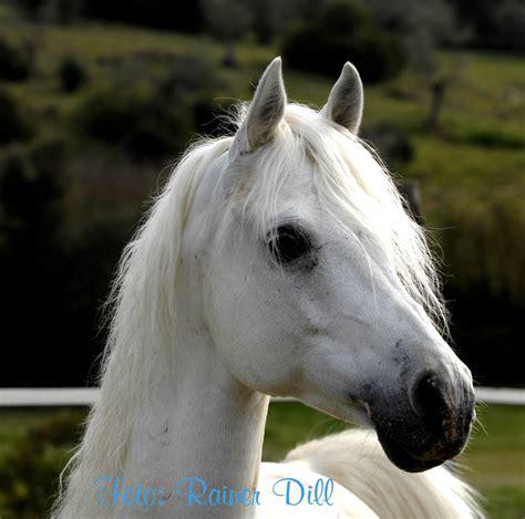 araber  foto bild tiere haustiere pferde esel