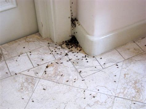 How To Get Rid Of Tiny Ants In My House   Apps Directories