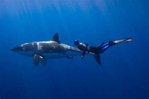 shark love  pinterest sharks whale sharks  swim