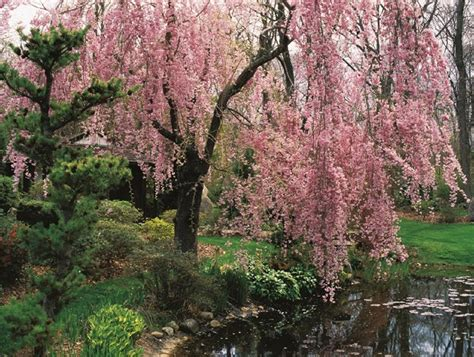 cherry tree not flowering flowering cherry tree varieties care garden design