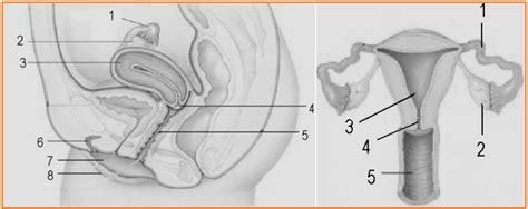 2 Rahim Pada Wanita Biologi Gonzaga Lks Reproduksi