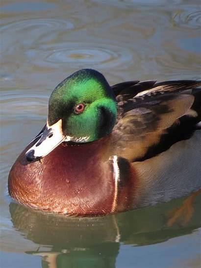 Duck Mallard Wood Hybrid Hybrids Bird Dorset
