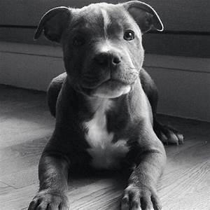 The 25+ best Blue staffy ideas on Pinterest   Blue pitbull ...