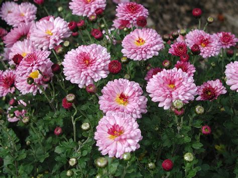 Sommerblumen Mehrjährig Winterhart by Sortiment Chrysanthemen