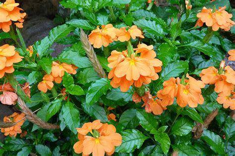tips    grow crossandra plants indoors