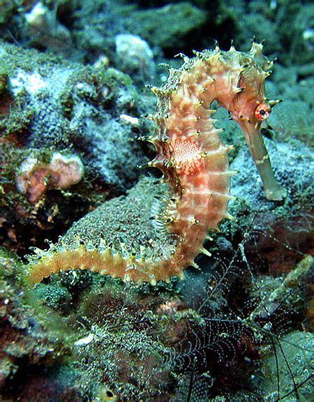sea underwater seahorses seahorse animals under horse erwin creatures water ocean dragon horses fanpop deep coral male marine unborn species