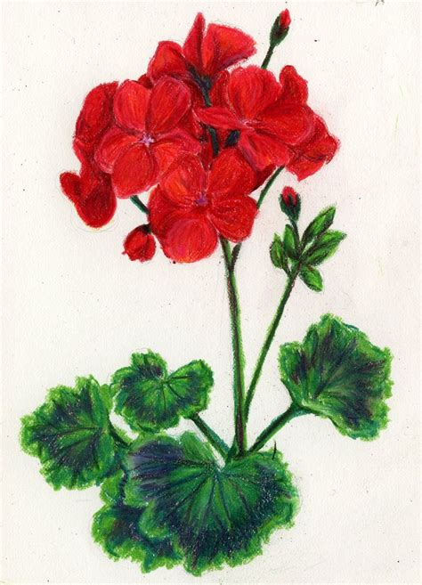 geraniums clipart clipground