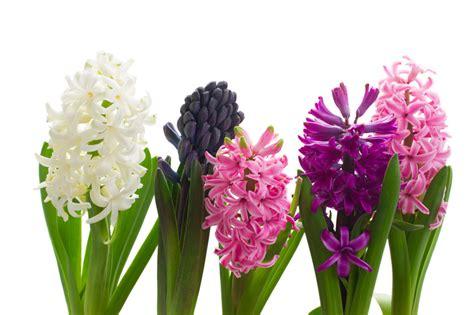 hyazinthe pflanzen pflegen schneiden und mehr