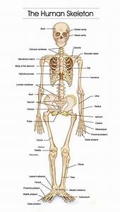 Detailed Human Skeleton Diagrams