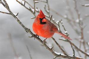 Cardinals » SteveByland.com - Nature Photography