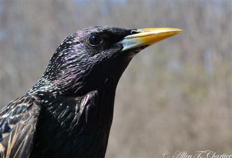 top 28 michigan starling bird wild birds unlimited